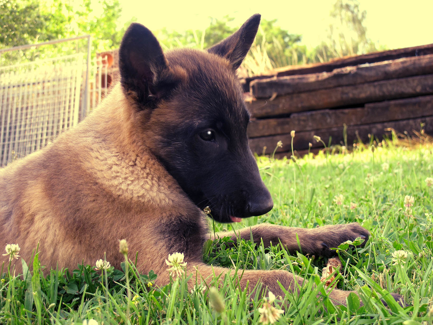 Photographie : Chiot Malinois 2 mois