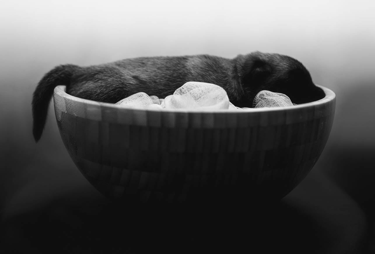 Photographie : Chiot Malinois 2 semaines